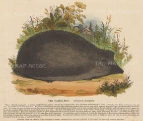"SPCK: Hedgehog. c1860. A hand coloured original antique wood engraving. 10"" x 12"". [NATHISp7145]"