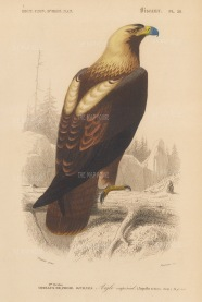 """d'Orbigny: Eastern Imperial Eagle. 1849. An original hand coloured antique lithograph. 6"""" x 9"""". [NATHISp7372]"""