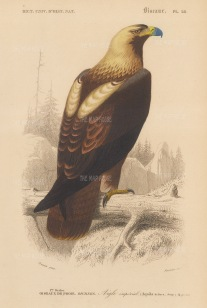 "d'Orbigny: Eastern Imperial Eagle. 1849. An original hand coloured antique lithograph. 6"" x 9"". [NATHISp7372]"
