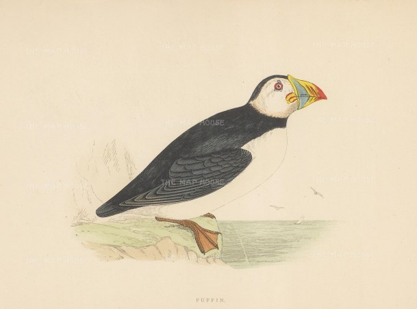 "Morris: Puffin. 1897. An original hand coloured antique wood engraving. 8"" x 5"". [NATHISp7389]"