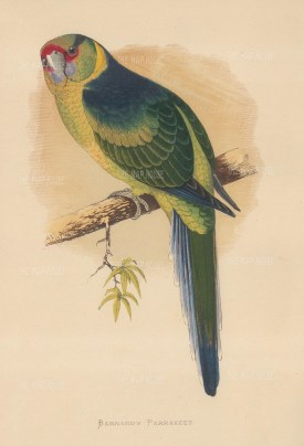 Parakeet: Barnard's Parakeet (Fort Lincoln Parrot) indigenous to Australia.