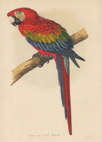 Macaw: Red and Blue (Scarlet) Macaw indigenous to South and Central America. Endangered.