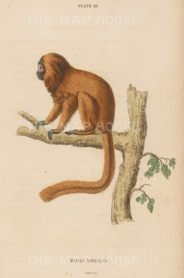 "Jardine: Golden Lion Tamarin. 1833. An original hand coloured antique steel engraving. 6"" x 4"". [NATHISp7420]"
