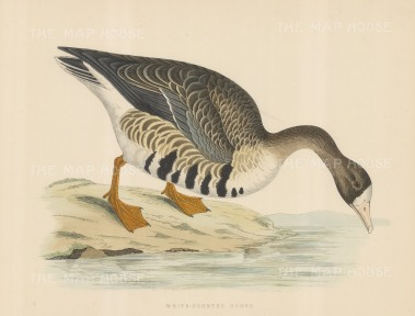 "Morris: White fronted Goose. 1869. An original hand coloured antique lithograph. 12"" x 9"". [NATHISp7554]"