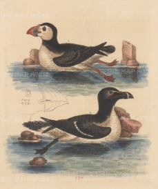 Alcids: Puffin (Coulternel) and Auk (Razorbil)l. Two species of the same characteristics as the Great Auk which was driven to extinction in 1844.