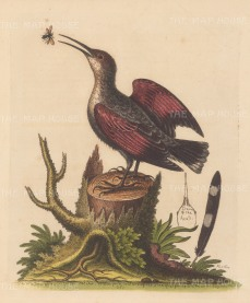 Wall Creeper or Spider Catcher (Tichodroma muraria): With detail of the crown of the head and a tail feather quill.