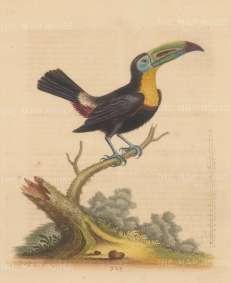 Toucan: Yellow throated Toucan from South America via Jamaica.