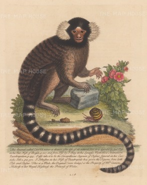 Marmoset: Common marmoset with snail and pink dog rose. Owned by the mid-wife Sidney Cannon who delivered George III. An avid collector of curiosities, much of her collection was bought by Horace Walpole.
