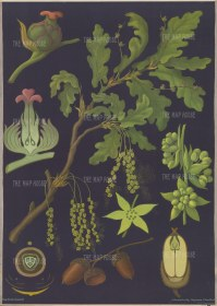 "Jung, Koch & Quentell. Oak Tree Anatomy. c1967. An original vintage colour print. 33"" x 46"". [NATHISp7633]"
