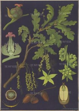 "Jung, Koch & Quentell. Oak Tree Anatomy. c1967. An original vintage colour print. 33"" x 46"". [NATHISp7633]"