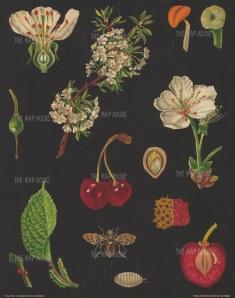 "Jung, Koch & Quentell. Sweet Cherry Anatomy. c1930. An original vintage colour print. 34"" x 42"". [NATHISp7634]"