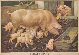 "Waldheim & Eberle: Pig, piglets and rat. c1955. An original vintage colour print. 38"" x 25"". [NATHISp7635]"