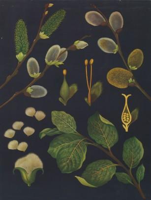 "Jung, Koch & Quentell. Goat Willow Anatomy. c1967. An original vintage colour print. 31"" x 42"". [NATHISP763]"