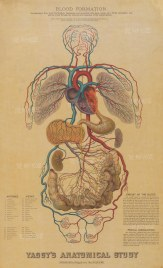 Cardiovascular System: Educational study with text and key to veins and arteries.