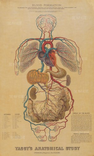 SOLD. Cardiovascular System: Educational study with text and key to veins and arteries.