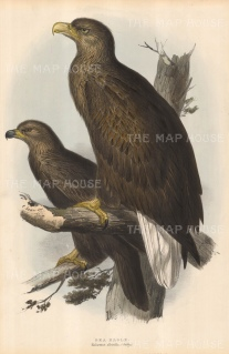 "Gould: Sea Eagles. c1865. An original hand coloured antique lithograph. 13"" x 20"". [NATHISp4043]"
