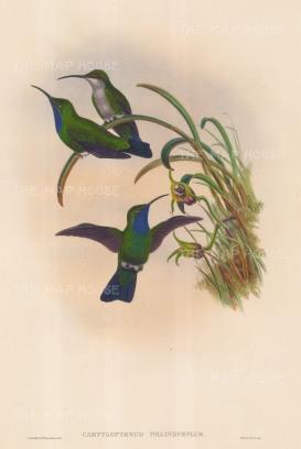 "Gould: Hummingbirds. 1887. An original hand coloured antique lithograph. 13"" x 20"". [NATHISp6638]"