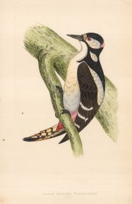 "Morris: Great Spotted Woodpecker. 1855. An original hand coloured antique wood engraving. 8"" x 5"". [NATHISp7064]"