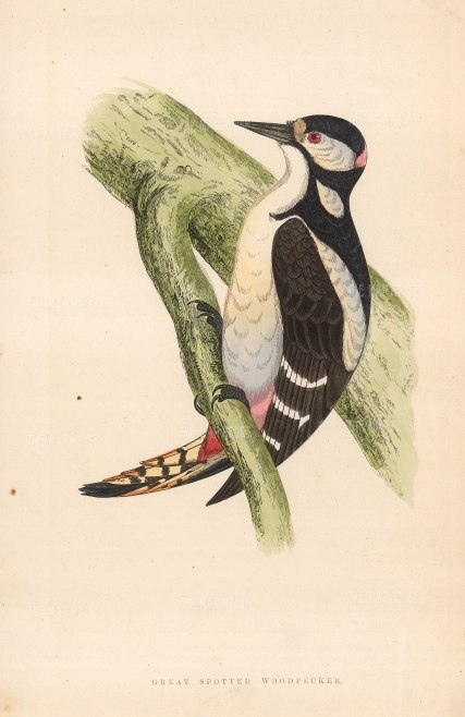 """Morris: Great Spotted Woodpecker. 1855. An original hand coloured antique wood engraving. 8"""" x 5"""". [NATHISp7064]"""
