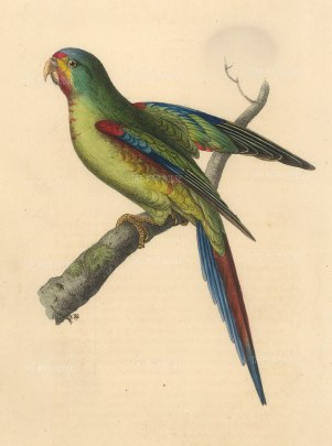 """Swainson: Red Shouldered Parakeet. 1833. An original hand coloured antique lithograph. 6"""" x 9"""". [NATHISp7274]"""
