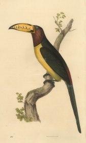 "Swainson: Lettered Aracari. 1833. An original hand coloured antique lithograph. 6"" x 9"". [NATHISp7276]"