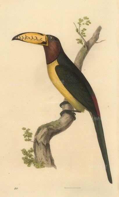 "Swainson: Lettered Aracari. 1833. An original hand coloured antique lithograph. 6"" x 9"". [NATHISp7276]"