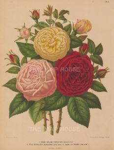 Roses: Celine Forestier, Monsieur Boncenne and La France.