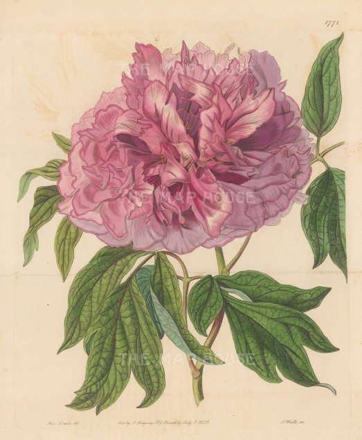 "Botanical Register: Peonie. 1834. An original hand coloured antique steel engraving. 9"" x 11"". [FLORAp3246]"
