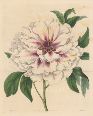 "Botanical Register: Peonie. 1834. An original hand coloured antique steel engraving. 9"" x 11"". [FLORAp3247]"