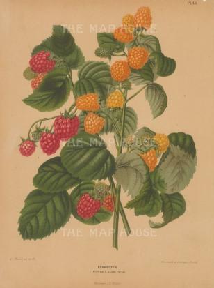 Raspberries: Hornet and Chilische.