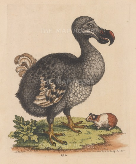 Dodo with Guinea Pig: After the life painting by Jan Savery. Edwards elegant depiction of the rather dumpy Dodo, extinct by 1662, became the basis for subsequent illustrations including that in Alice's Adventures in Wonderland.