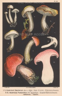 Agaricus Eburneus (Ivory Waxy Cap) and Agaricus Pudorinus (Blushing Waxy Cap). Edible.