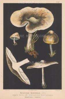 Agaricus Gambiosus (St George's mushroom). Edible.