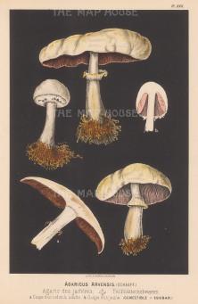 Agaricus Arvensis (Horse mushroom). Edible.