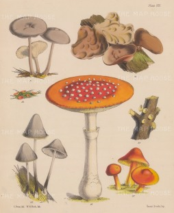 deleteBritish Fungi: Agaricus (two varieties), Peziza (two varieties), Hirneola, Amanita and Hygrophorus.