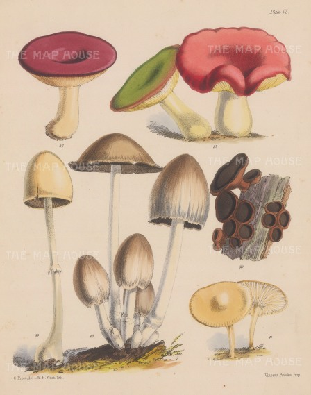 British Fungi: Russula (two varieties), Bulgaria, Agaricus, Coprinus and Hygrophorus.