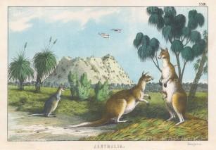 "Edmonston: Australia. 1862. An original antique chromolithograph. 11"" x 8"". [AUSp756]"