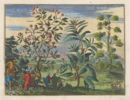 "Dapper: Jasmine, Sesame and Hibiscus. 1681. A hand-coloured original antique copper engraving. 13 "" x 10"". [FLORAp3250]"