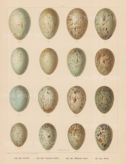 Raven, Crow and Rook eggs.