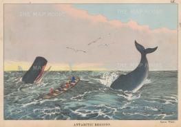 """Edmonston: Sperm Whales, Antarctic. 1862. An original colour antique mixed method engraving. 10"""" x 7"""". [ANTp24]"""