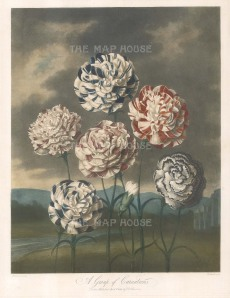 Carnations: Flakes, Bizarres, and Piquettes. Palmer's Defiance, Davy's Defiance, Duchess of Dorset, Duchess of Wurtemberg, British Monarch, Prince of Wales. Set in a romanticised landscape with Norman ruins.