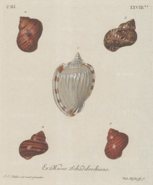 Five mollusc shells from the collection of August Martin Shadeloock, parson of St Lorenz, Nurmberg.