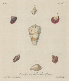 Seven mollusc shells from the collection of August Martin Shadelock, parson of St Lorenz, Nurmberg.