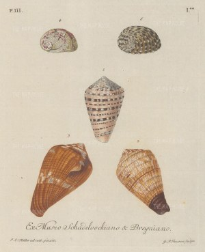 Five mollusc shells from the collection of August Martin Shadeloock, parson of St Lorenz, Nurmberg