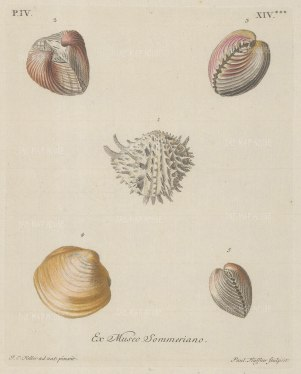 Five mollusc shells from the unrecorded Sommer collection