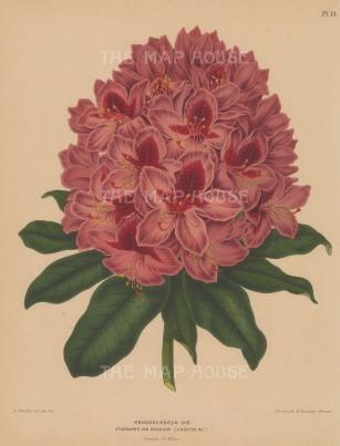 "Wendel: Rhodedendron. 1879. An original antique chromolithograph. 9"" x 12"". [FLORAp3243]"
