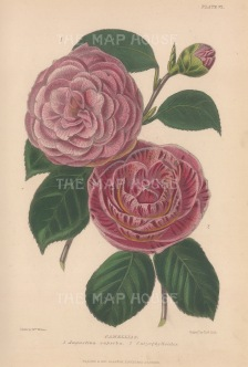 Camellia: Augustina superba and Caryophylloides. After Augusta Withers.