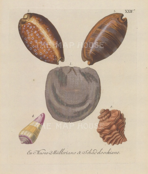 Five mollusc shells from the collections of August Martin Shadelock, parson of St Lorenz, Nuremberg and Philipp Ludwig Muller, professor of Natural History at Erlangen.