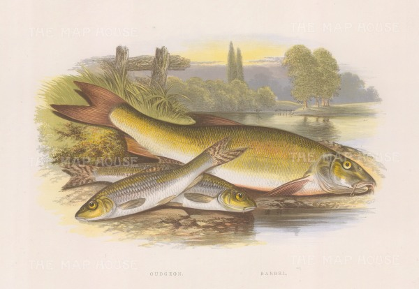 """Houghton: Gudgeon and barbel. 1879. An original antique chromolithograph. 12"""" x 9"""". [NATHISp4428]"""