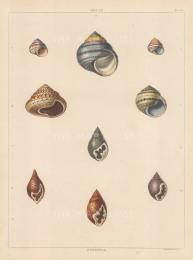 "Perry: Helix and Strigula shells. 1811. An original colour antique aquatint. 10"" x 13"". [NATHISp5618]"